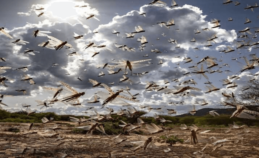 Locust Attack in India by Opsule blog